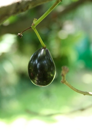 duhat (black plum) shaped like a tear drop